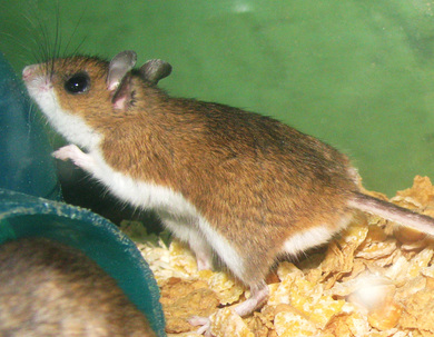 Deer Mouse Pest Control Richmond VA