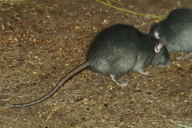 Roof Rat Pest Control Richmond VA