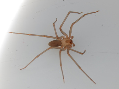 Brown Recluse Spider Pest Control Richmond VA