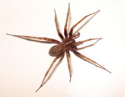 American House Spider Pest Control Richmond VA