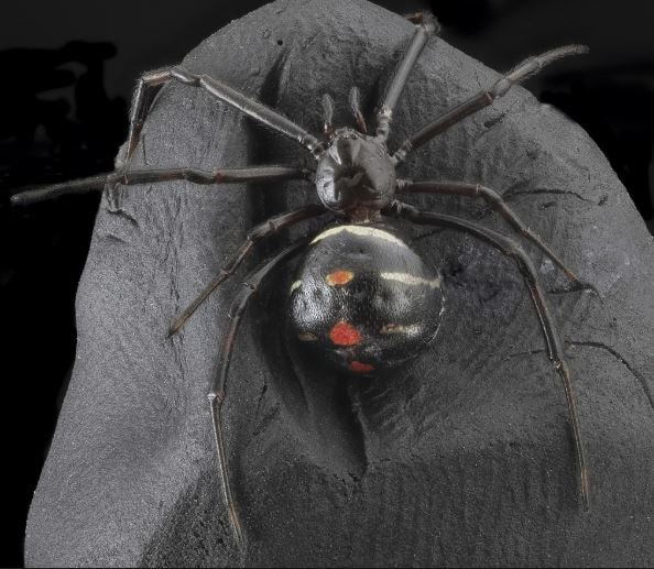 Black Widow Spider Pest Control Richmond VA
