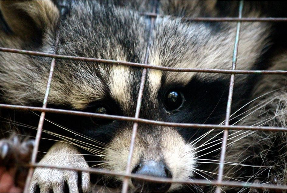 Caged Raccoon Awaiting Relocation RVA Pest Control VA