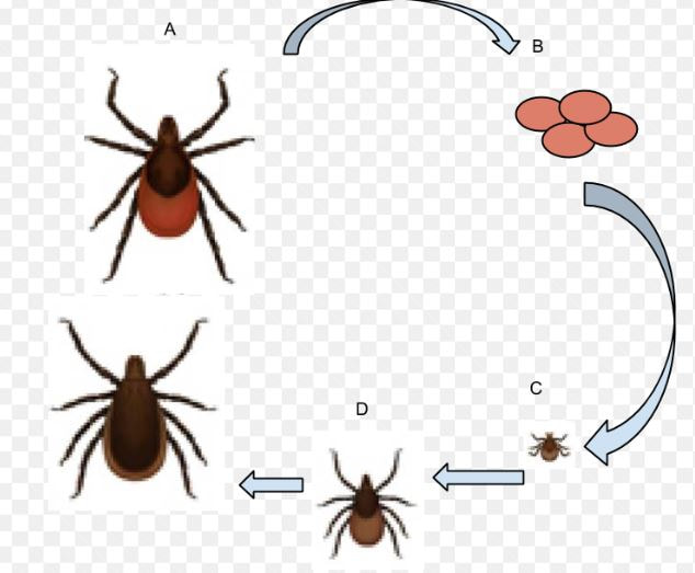 Life Cycle of the Deer Tick Hopewell Pest Control Hopewell, VA