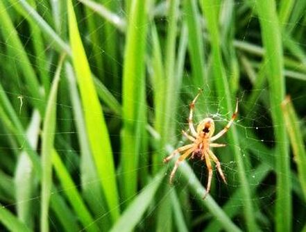 Grass Spider Pest Control Richmond VA