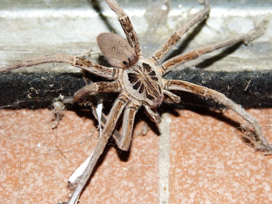 Wolf Spider Pest Control Richmond VA